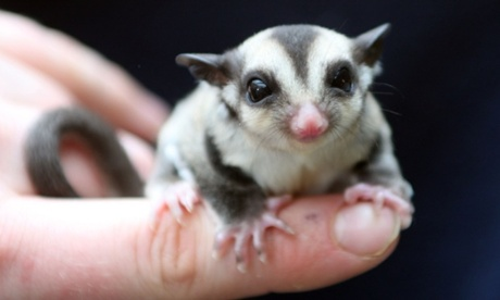 Baby sugar glider takes flying lessons