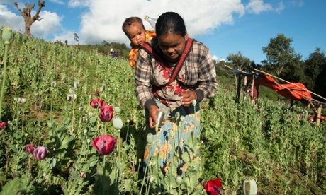Farmers in Burma swap opium poppies for coffee crops – in pictures