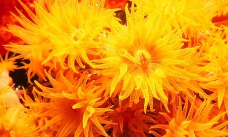 daisy coral