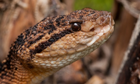 """World's largest viper: """"Six feet long and vicious"""""""