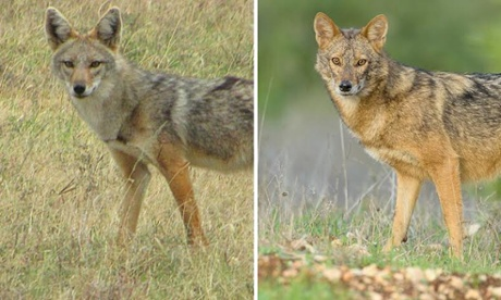 Golden jackal: A new wolf species hiding in plain view