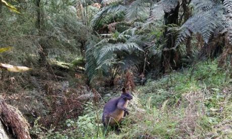 Swamp wallaby at Dandenong ranges national park.