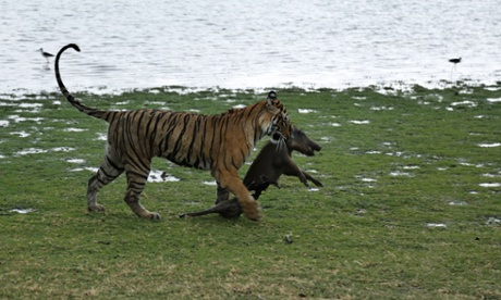 Wildlife groups say 41 tigers have died in India in seven months