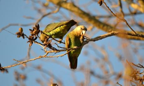 Taking flight: Cape parrot identified as new species