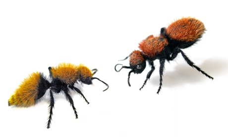 Velvet ants share warning signals with the neighbours