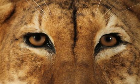 The tigon's return: a rare tiger-lion takes over the Manchester Museum