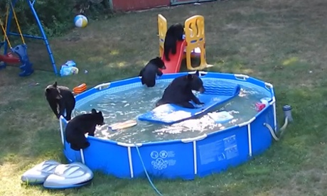 Family of bears have pool party at new jersey home video 15 min for Bears in swimming pool new jersey