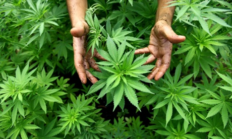 Five tips for growing and selling marijuana like a pro – from a university instructor