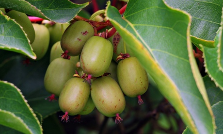 Gardens: grow your own mini kiwis