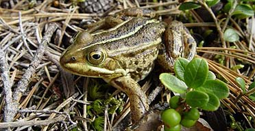 An adult male northern pool frog