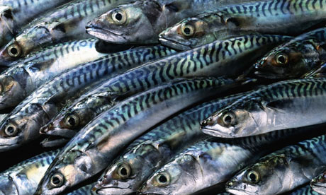 Lots of Mackerel fishes