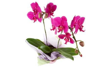 Pink-phalaenopsis-or-moth-001.jpg