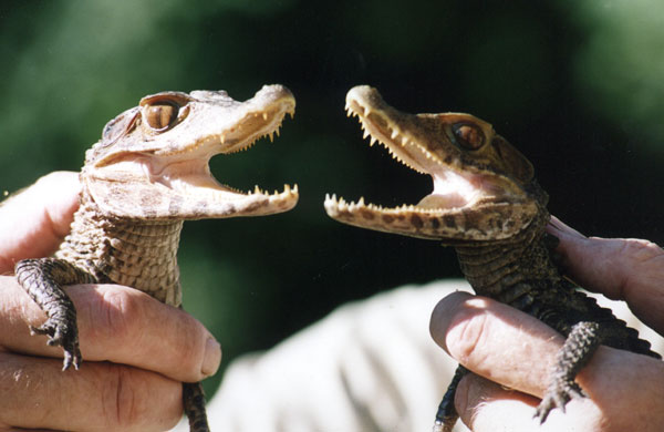 Miniature animals: Dwarf caiman
