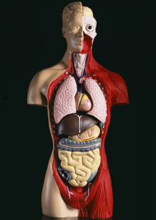 Anatomical model 001 ADULT EDUCATION. ONLINE COURSES. DAYTIME COURSES
