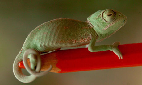 A chameleon on a pencil