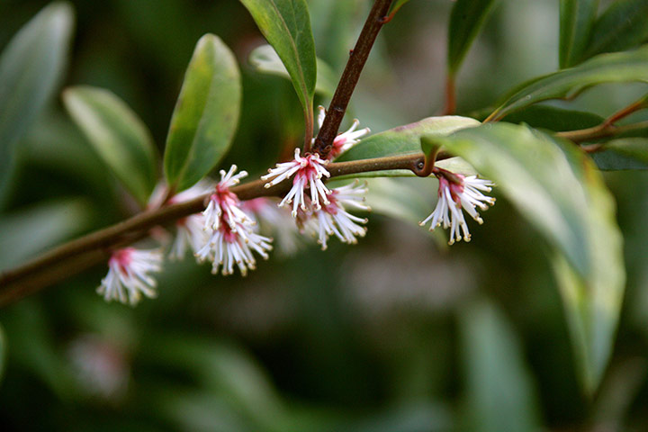 Winter-flowering plants: Sarcococca hookeriana var digyna