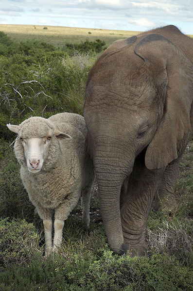 Unlikely animals friends: The African elephant and the sheep