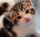 A kitten to be fostered at Battersea cats and dogs home