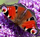 A peacock butterfly (Inachis io) on buddleia