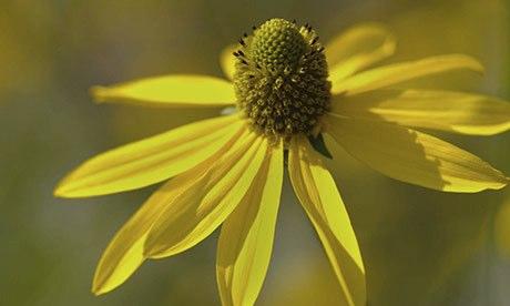 Rudbeckia 'Goldquelle'