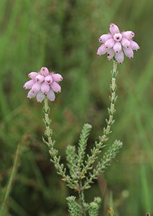 Cross-leaved heath (Erica tetralix)