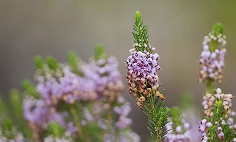 Cornish heath (Erica vagans)