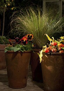Pansies (left), Physalis 'Halloween Queen' (right) and grasses (centre) in terracotta pots