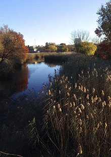 Norfolk reed (Phragmites australis)