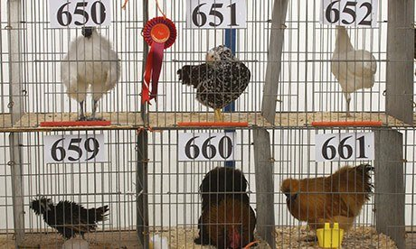 Show chickens at Hesket Newmarket Agricultural Society show in Cumbria