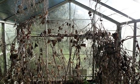 Dead plants in a greenhouse
