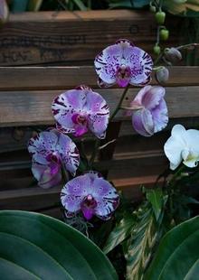 Phalaenopsis 'Diamond Sky'