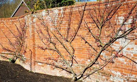 Fan-trained peaches in Tom Hoblyn's walled garden