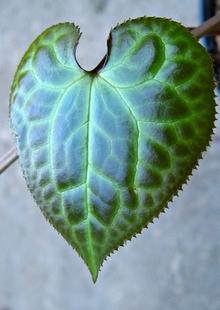 Beesia calthifolia leaf