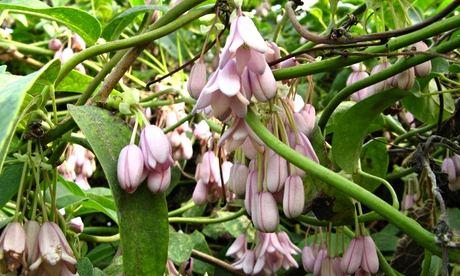 Hoelboellia latifolia