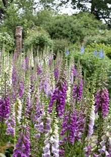 Foxgloves at Spencers garden in Essex