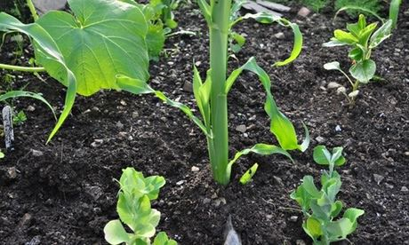 Four sisters planting guild - sweetcorn, squash, pea and amaranth