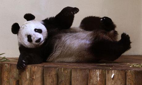 Tian Tian - panda