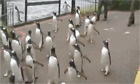 Guardian Viral Video Chart: Imperial penguins and kiddie Queens