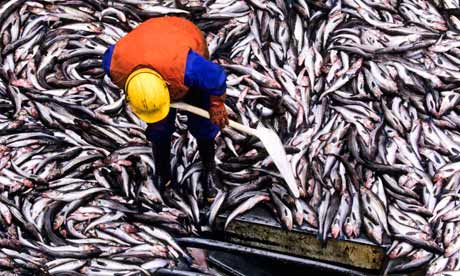 Pollack Catch on Factory Trawler