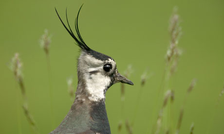 LAPWING Vanellus vanellus