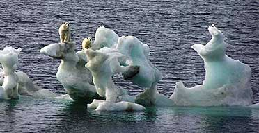 Polar bears on an ice floe