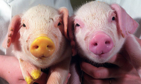 genetic-modified-piglets-glow