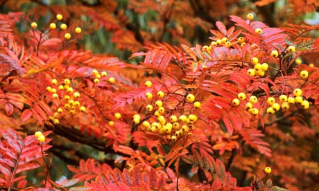 Sorbus 'Joseph Rock' red autumn
