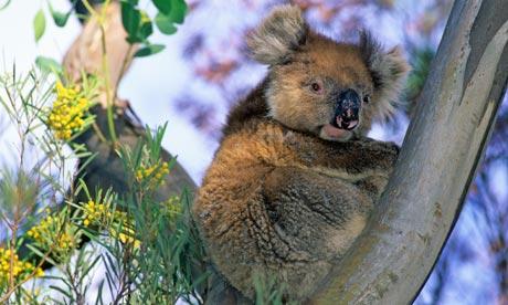 Koala in a eucalyptus tree, Kangaroo Island, South Australia, Australia