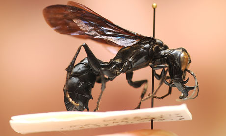 The newly discovered giant wasp, Dalara Garuda