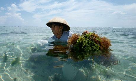 recolección de algas en Bali