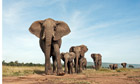 Elephants at risk