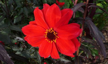 dahlia british flower
