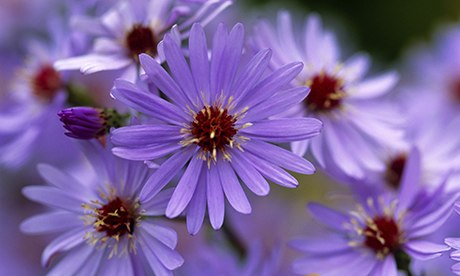 aster cordifolia little carlow