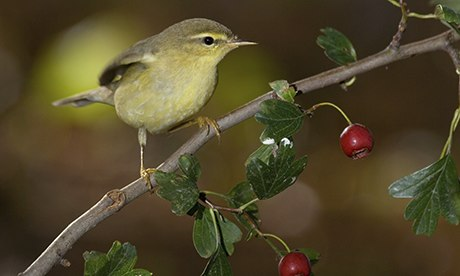 Willow Warbler (Phylloscopus trochilus). Image shot 09/2008. Exact date unknown.